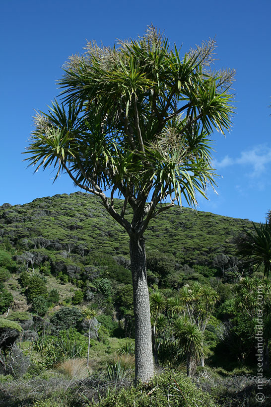 Karekare Beach – Cabbage Tree